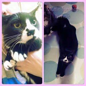 """Young Female Cat - Domestic Short Hair: """"Muffin"""""""