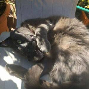 LOST: small blue/grey cat in Inglewood Inglewood Stirling Area Preview