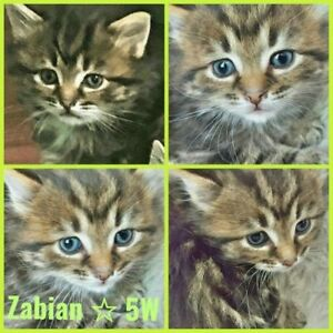"Baby Male Cat - Tabby: ""Zabian 12 wks"""