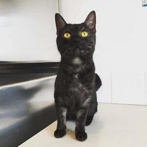 "Young Female Cat - Domestic Short Hair: ""Thelma"""