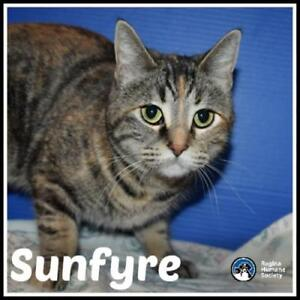 "Young Female Cat - Domestic Short Hair: ""Sunfyre*"""