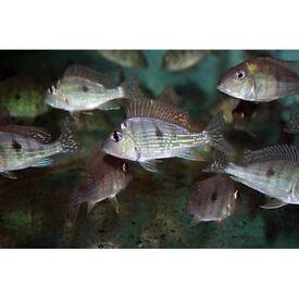 TROPICAL FISH, GEOPHAGUS SURINAMENSIS CICHLIDS 10 CM+