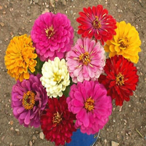 zinnia, CALIFORNIA GIANT, flower, bulk size,, 500 seeds! GroCo
