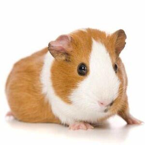 Pet Sitting Perth CBD Guinea Pig, Hamster, Cat, Rabbit, Bird