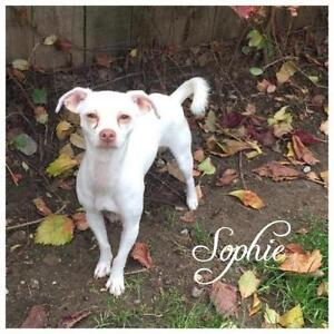 "Young Female Dog - Chihuahua: ""Sophie"""
