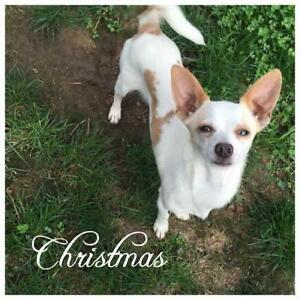 "Young Male Dog - Chihuahua: ""Christmas"""