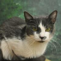 """Young Female Cat - Domestic Short Hair: """"Gypsy Rose"""""""
