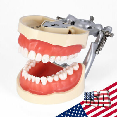 Dental Kilgore Nissin 200 Type With Removable Teeth Typodont Model