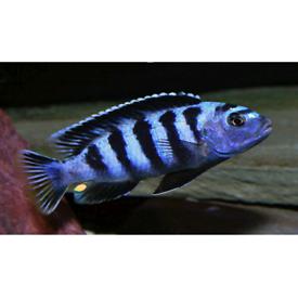 Malawi cichlids scotland