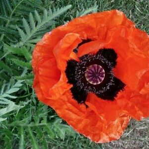 POPPY SEEDS- PERENNIAL AND ANNUALS