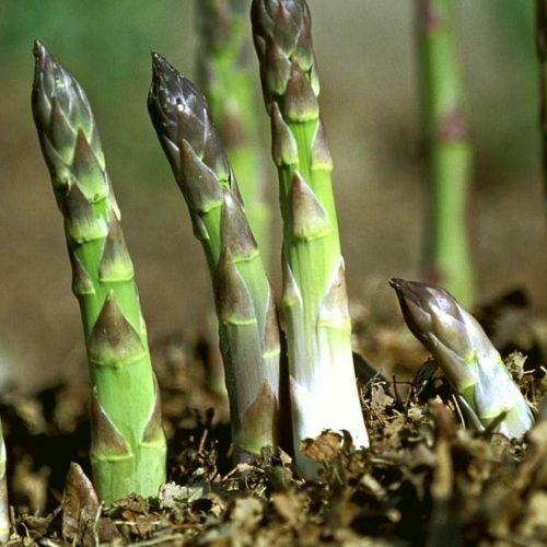 """Grüner Spargel """"Mary Washington"""", pflegeleicht, mehrjährig, winterhart, Pflanze"""