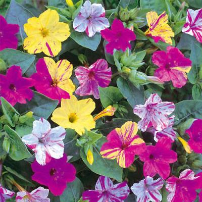 - 20 Seeds Fragrant Mix Color Arabian Jasmine Seeds Flower Seeds Garden Decor