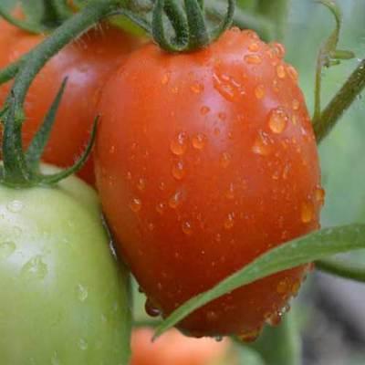 80++ Roma VF Tomato Seeds  Organic Seeds