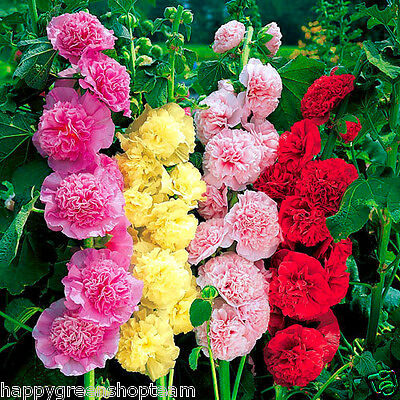 HOLLYHOCK - CHATERS DOUBLE TRIUMPH MIX - 100 seeds - Althaea rosea Flower