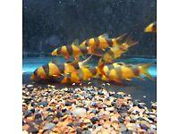 Tropical Fish Malawi's Tetra's Clown Loach