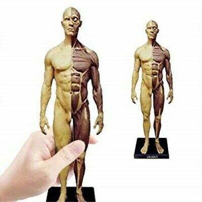 30cm Human Anatomical Anatomy Skull Head Body Muscle Bone Resin Model Us Stock