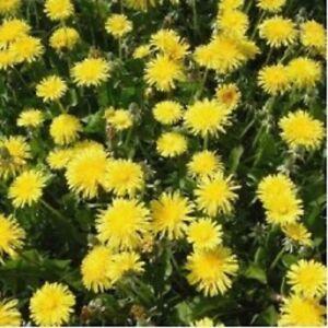 Wildflower Seeds - Dandelion - 5000 Seeds