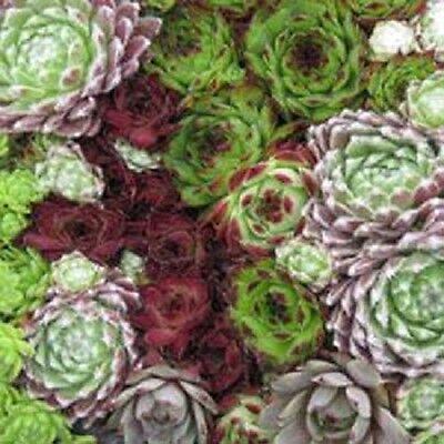 50 + Siemprevivas Planta Perenne Especies Mezcla Succullent Semillas de Flor
