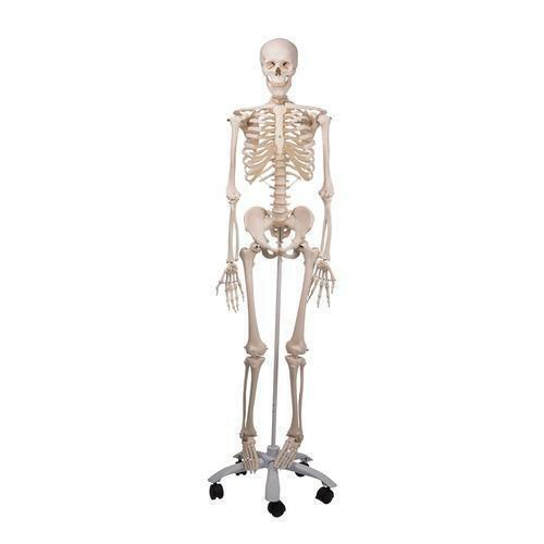 3B Scientific A10 Human Skeleton Model Stan Anatomical Model Anatomy