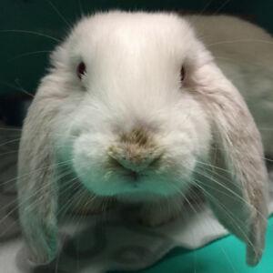 """Baby Male Rabbit - Lop Eared: """"Sherman"""""""