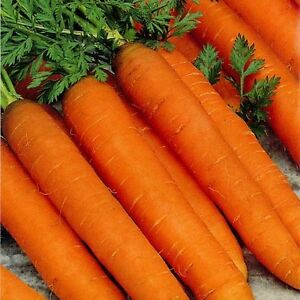 CARROT - RESISTAFLY F1  - 1000 FINEST SEEDS