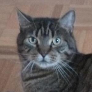 "Adult Male Cat - Domestic Short Hair-Tabby: ""Eddard"""