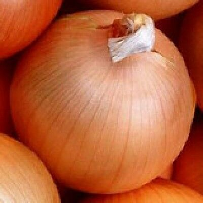 Onion Yellow Of Parma Excellent Storage Large Very Mild 150+Seeds Comb/shipping