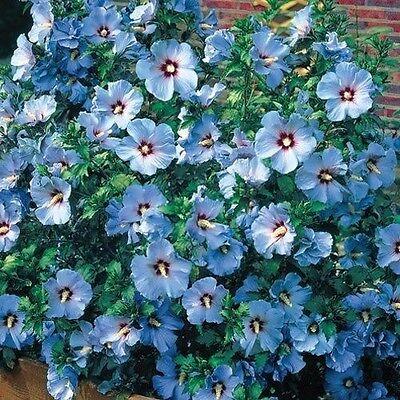15  Blue Rose Of Sharon Hibiscus Flower Seeds   Perennial