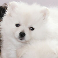 RARE White Teddy Bear Mini Pomeranian Puppies