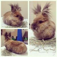 "Adult Female Rabbit - Angora Rabbit: ""Ginger"""