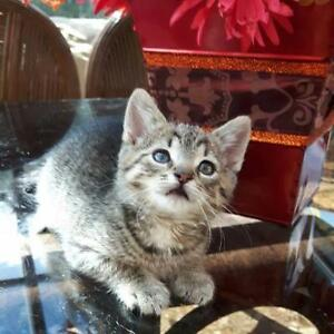 "Baby Female Cat - Domestic Short Hair-Tabby - Grey: ""Riley"""