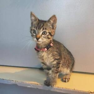 """Baby Female Cat - Domestic Short Hair: """"Butter Cup"""""""