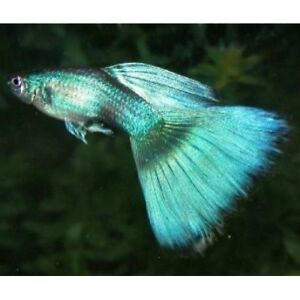 green blue moscow guppy