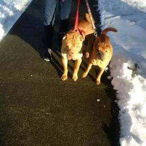 """Adult Female Dog - Shar Pei: """"SUSIE ADOPTED!"""""""