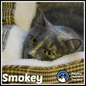 "Adult Female Cat - Domestic Short Hair: ""Smokey"""