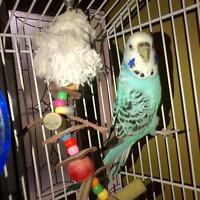 """Young Female Bird - Parakeet (Other): """"Bonita"""" Ottawa Ottawa / Gatineau Area Preview"""