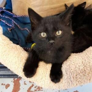 """Baby Male Cat - Domestic Short Hair: """"Licorice"""""""