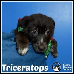"""Baby Female Dog - Great Pyrenees: """"Triceratops*"""""""