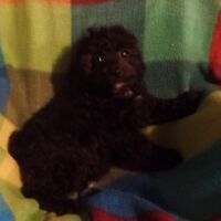 Toy Male Poodle Puppy