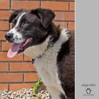 "Young Male Dog - Border Collie: ""Ollie"""