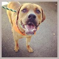 Young Male  - American Staffordshire Terrier-Rottweiler