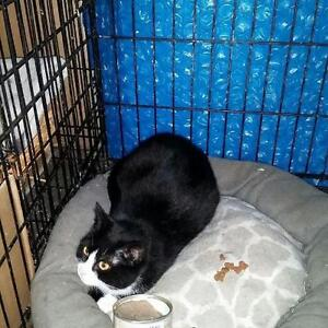"Young Female Cat - Domestic Short Hair (Black & White): ""Sophia"""
