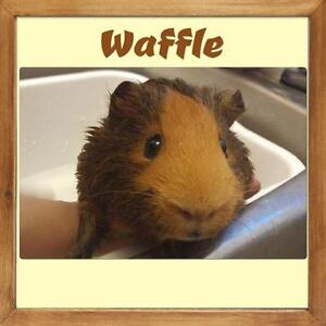 """Young Male Small & Furry - Short-haired: """"Waffle"""""""