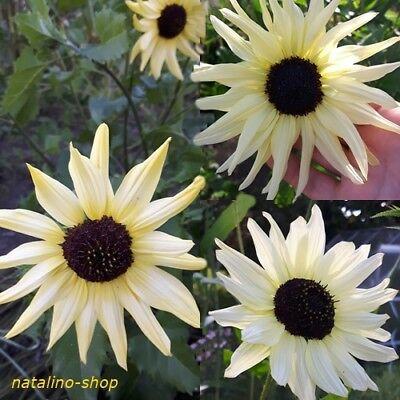 Sonnenblume 20 Samen (Sonnenblume *Vanilla Sky* 20 Samen *Reichblühende Schnittblume *Sunflower seeds)