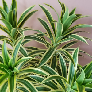 Dracaena Song of India / Indoor plants / Houseplants