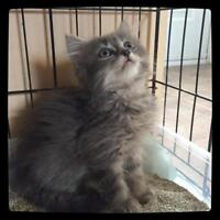 "Baby Female Cat - Domestic Long Hair: ""Jessica-Marie"""