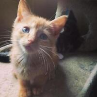 "Baby Male Cat - Domestic Short Hair-orange: ""Whisky"""