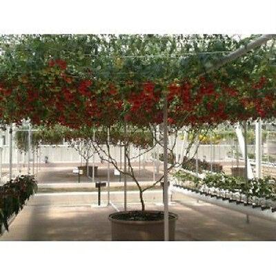 Italian Tree Tomato *RARE HEIRLOOM!!* SEEDS OF LIFE