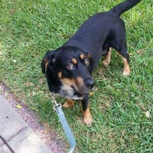 "Adult Male Dog - Rottweiler: ""Rookie"""