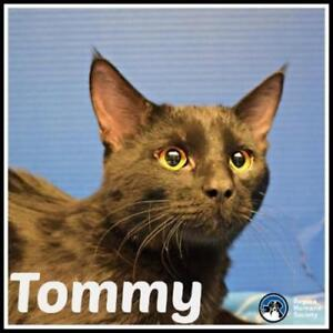 "Young Male Cat - Domestic Short Hair: ""Tommy"""